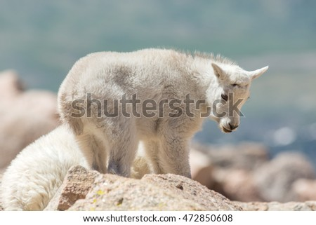 Young mountain goat at the summit of Mt. Evans in Colorado.