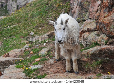 Young Mountain Goat, Rocky Mountains Colorado - stock photo