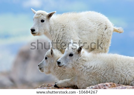 Young mountain goats at the summit of Mt. Evans in Colorado.