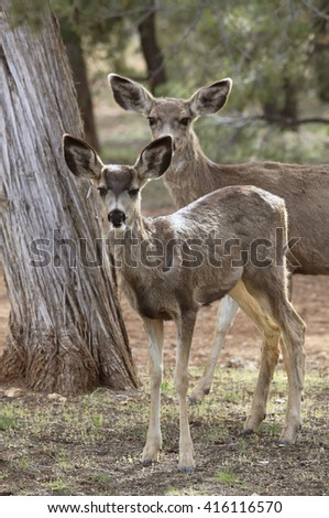 Young Mule Deer and It's Mother Watching - stock photo