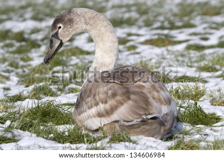 Young mute lies in the snow, Netherlands