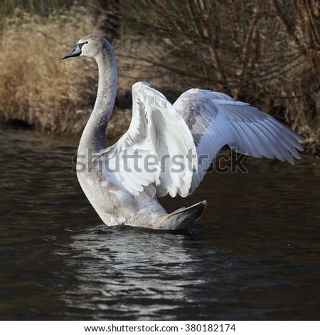 Young mute swan (Cygnus olor) on the water flapping wings. - stock photo