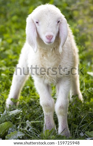 young newborn sheep on green field - stock photo