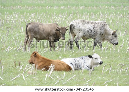 young nguni bulls. nguni are an indigenous breed of african cattle with an ancient pedigree. - stock photo