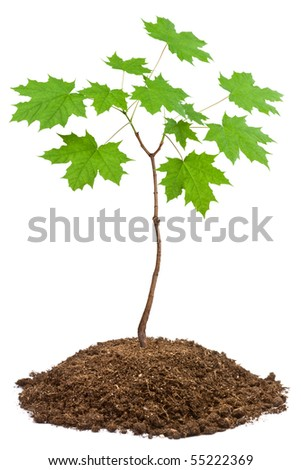 Young Norway maple (Acer platanoides). Closeup on white. - stock photo