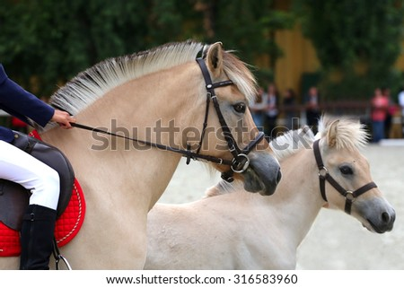 Young norwegian fjord breed mare with her beautiful pretty foal - stock photo