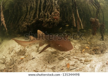 Young nurse shark, Ginglymostoma cirratum, swimming through a mangrove forest. - stock photo