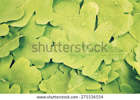 Young oak green leaves with water drops background - stock photo