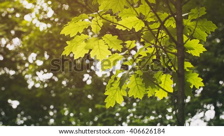 young oak leaves in spring, vintage toned photo - stock photo