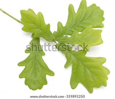Young oak leaves on a white background - stock photo