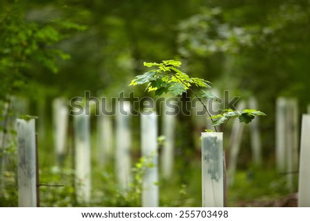Young Oak Saplings in the forest in summer - stock photo