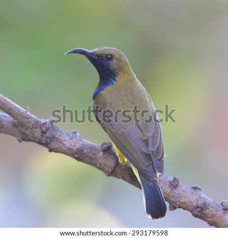 Young Olive-backed sunbird catch on the branch in nature