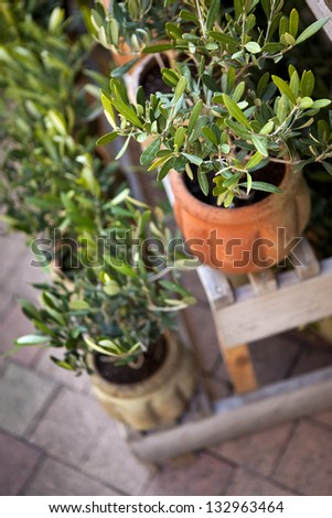 Young olive trees in terracotta pots on a terrace in Provence - stock photo