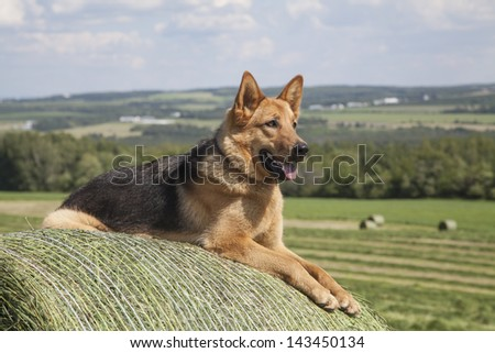 Young one year old German Shepherd female laying on a bale of hay on a beautiful summer afternoon. - stock photo