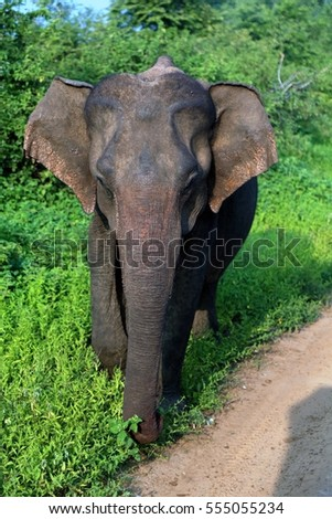 Young only elephant (Elephas maximus maximus) facing the camera early in the morning in Udawalawe Sri Lanka National Park