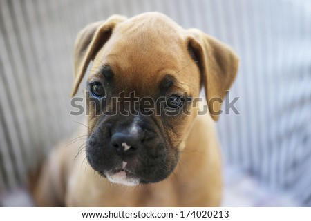 young or puppy boxer dog