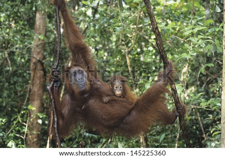 Young Orangutan embracing mother in tree