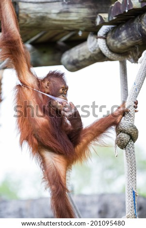 young orangutan holding on to a rope on top of a pole at the zoo - stock photo