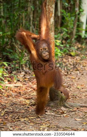 Young Orangutan standing next the tree in the jungle of Borneo Indonesia. - stock photo