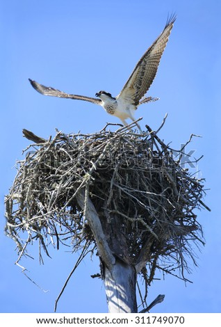Young Osprey Taking Off From It's Nest for the First Time - stock photo