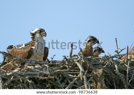 Young Ospreys (Pandion haliaetus) with Parent in Nest - stock photo