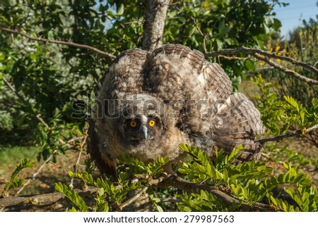 Young Owl Chico. Asio otus.