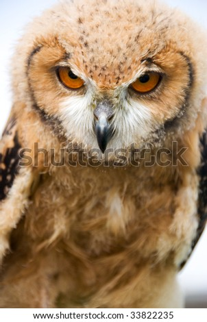 Young Owl with evil stare - stock photo