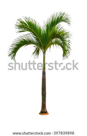 Young palm,coconut tree isolated,Vegetative tree