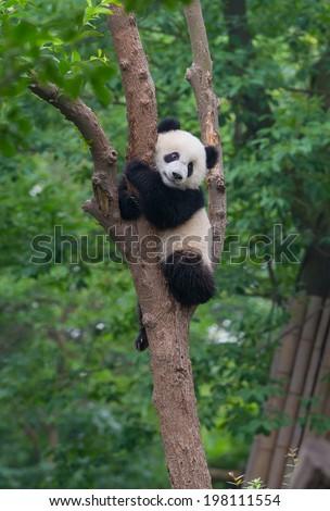 Young panda bear in tree - stock photo
