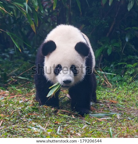 Young panda bear with bamboo leaves in mouth - stock photo