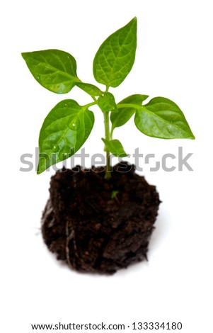 young paprika plant isolated on white background