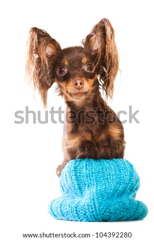 Young pedigree dog of Moscow long-haired toy terrier sitting in turquoise knitted hat on isolated white background