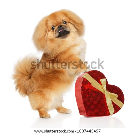 Young Pekingese dog standing on hind legs with red Valentine heart on white background