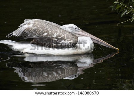 Young pelican - stock photo
