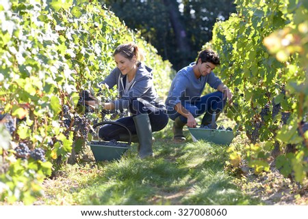 Young people working in vineyard during harvest season - stock photo