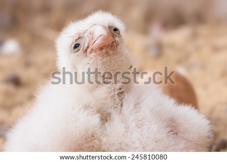 young peregrine - stock photo