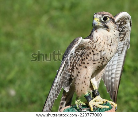 young Peregrine Falcon perched on a trestle during a demonstration of birds of prey - stock photo