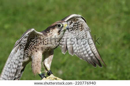 young Peregrine Falcon with outstretched wings to fly - stock photo