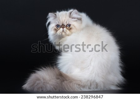 Young Persian cat, show class sitting down on black background. Not isolated.
