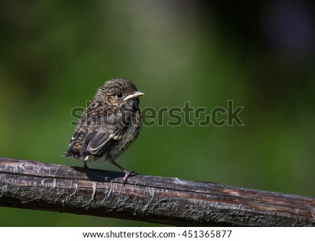 Young Pied flycatcher
