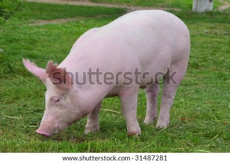 "young pig breeds ""Great White"" on the walk"