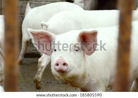 young Pig on a farm
