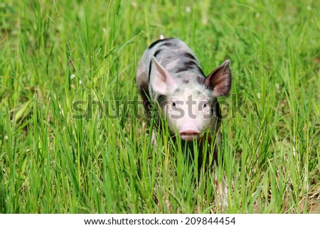 Young pig on a spring green grass - stock photo