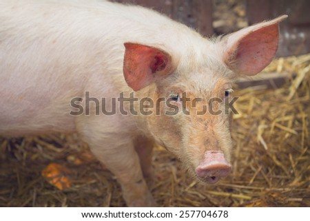 Young Pig on Breeding Animal Farm Looking At Camera, Selective focus with shallow depth of field. - stock photo