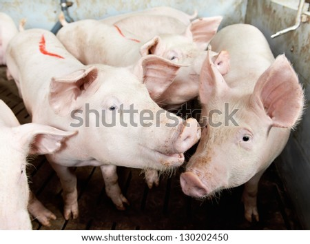 young piglet in shed at pig-breeding farm - stock photo