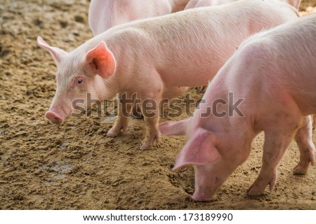 Young pigs on the farm, open farm - stock photo