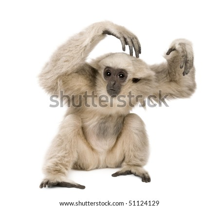 Young Pileated Gibbon, 1 year old, Hylobates Pileatus, sitting in front of white background - stock photo