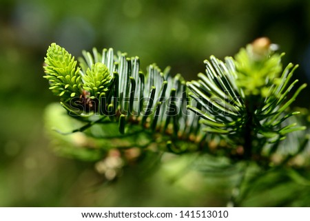 Young pine branch in spring - stock photo
