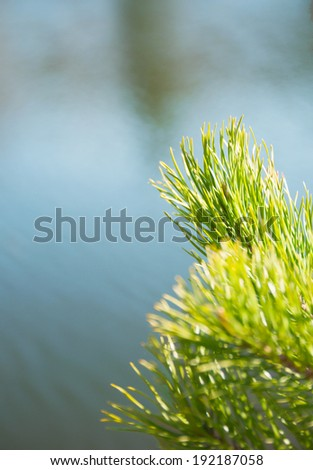 Young pine branches on a background of water