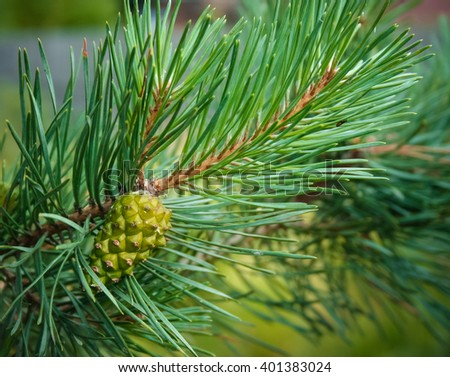 Young pine cone on a branch